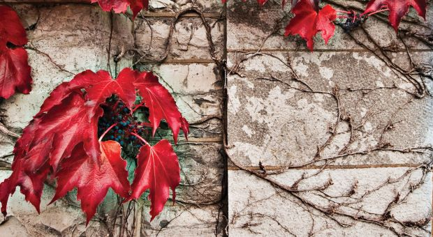 Red ivy on a limestone wall