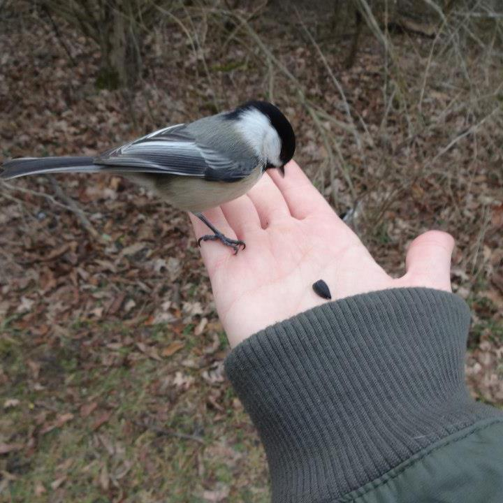 Feeding a chickadee from my hand