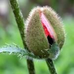 poppy-610750_960_720