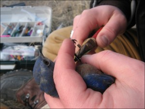 One of Catherine's field assistants fits a numbered leg band on a western bluebird. This allows them them to ID that particular bird in the future