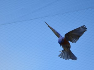 Photograph from Catherine's field research of a bluebird in flight