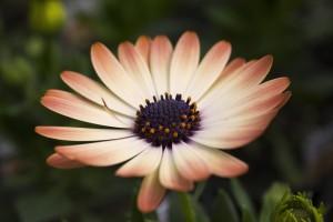 daisy-1177408_960_720