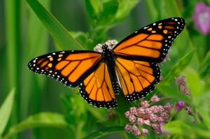 monarch-HMNS