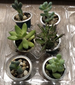 A collection of little succulents which have been repotted into recycled coffee pods.