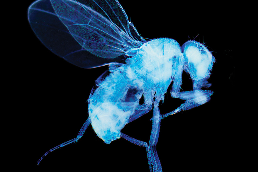 A light micrograph of a fruit fly