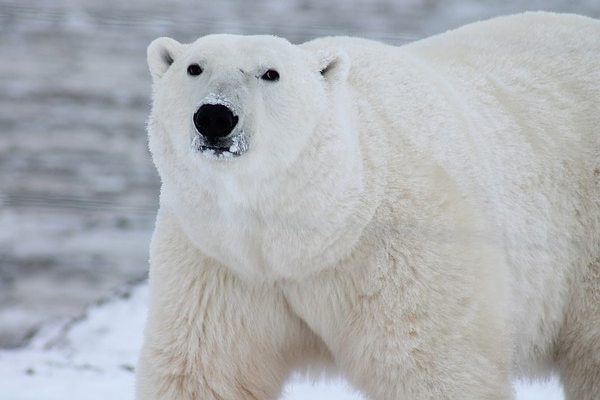 [Polar Bear]