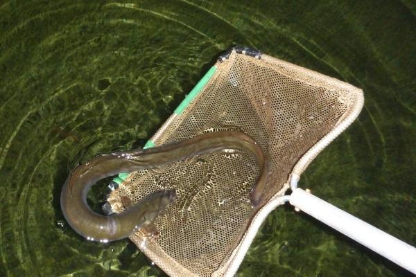 Tracking the elusive eel