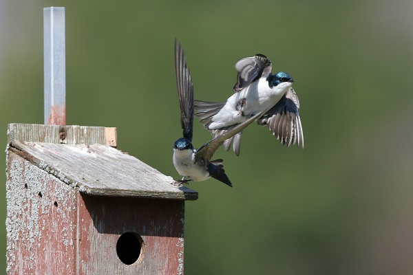 Tree swallows expose state of our climate