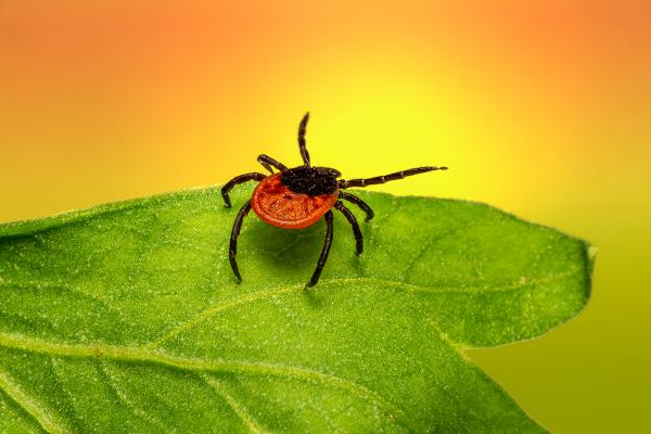 Lyme carditis: Things can get complicated when Lyme disease affects heart function