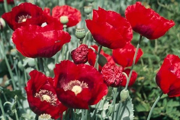 [Poppies]