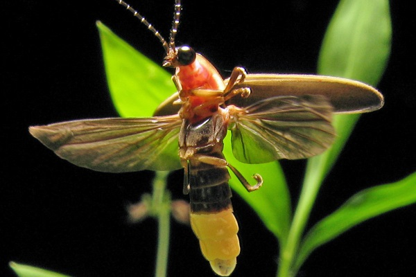 [Photo of a firefly by Terry Priest/frfly.com]