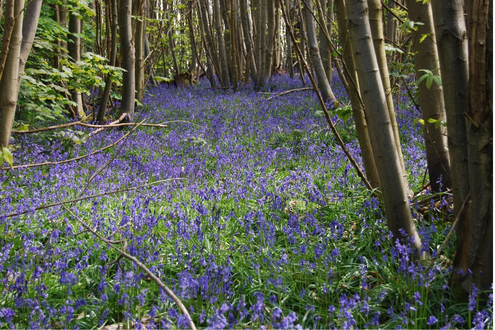 [Photo of the bluebells among the ancient woodland]