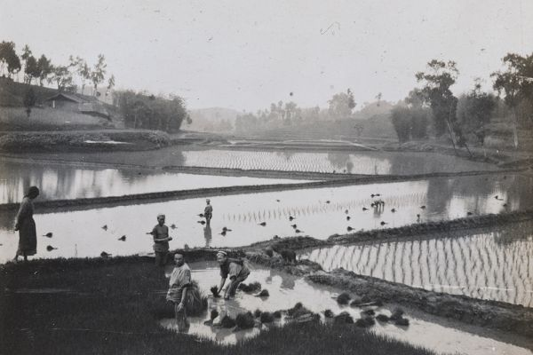 Image of a photo taken by Oliver Hume, 1905-15, transplanting rice