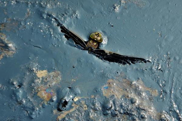 [Dragonfly caught in oil]