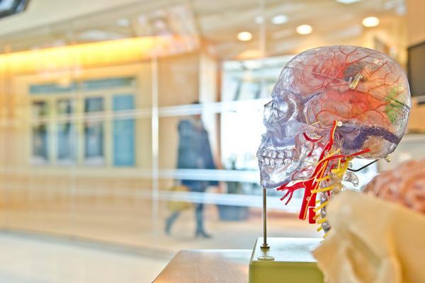 [model of a brain]