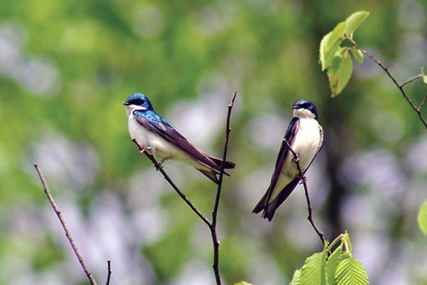 [Photo of birds credit: Philina English]