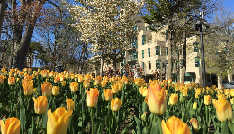 [tulips at Biosciences building]
