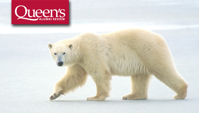 [polar bear image from Queen's Alumni Review 2017 Issue 1]