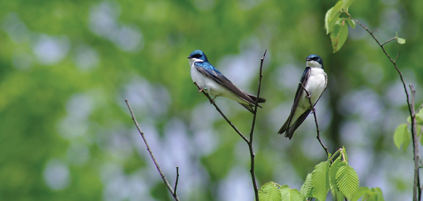 [tree swallows]