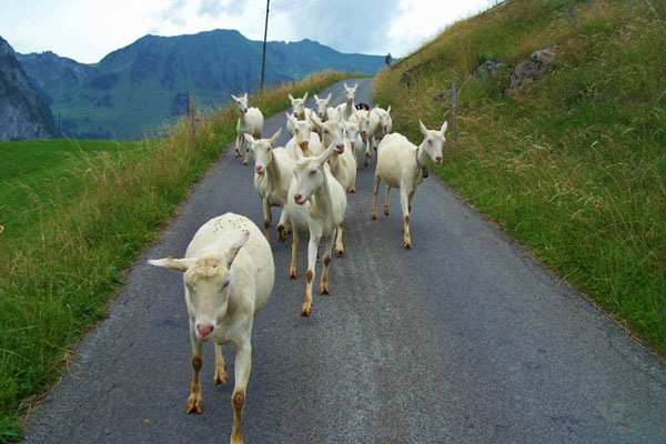 [The Return of the Goats; Engelberg, Switzerland. By Emmeline Hoogland, 2013.]