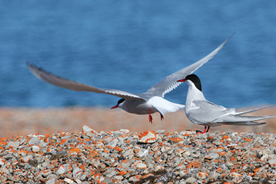 [Photo of arctic terns]